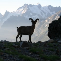 фауна кавказа